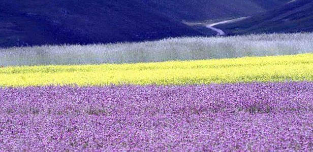 fioritura-castelluccio