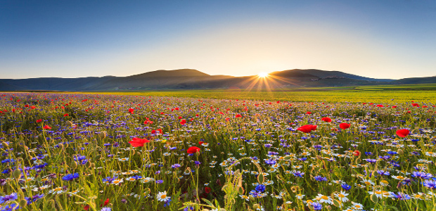 Italy, Sibillini Mountains, Castelluccio of Norcia, flower bloom